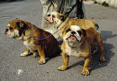 Bulldogs Kopie