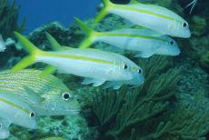 Yellow Goatfish  Mulloidichthys martinicus