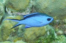 Blue Chromis  Chromis cyanea