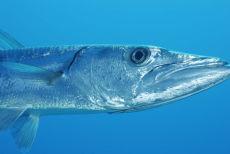 Great Barracuda  Sphyraena barracuda