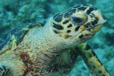 Hawksbill Turtle  Eretmochelys imbriocota