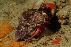 Red Hermit Crab  Dardanus calidus