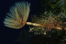 Spiral Tube Worm  Spirographis spallanzani
