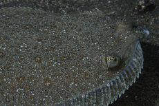 Juvenile Turbot  Scophthalmus maximus