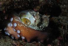 Common Octopus sleeping Octopus vulgaris