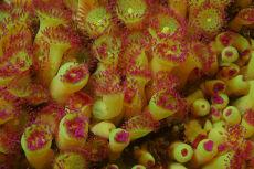 Jewel Anemone  Corynactis viridis