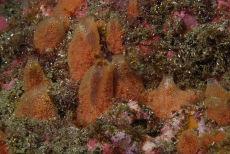 Tunicate Ascidia mentula