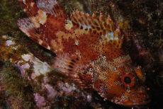 Madeira rockfish  Scorpaena maderensis
