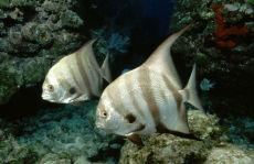Atlantic Spadefish  Chaetodipterus faber
