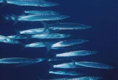Blackfin Barracuda  Sphyraena qenie