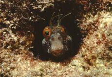 Sailfin Blenny  Emblemaria pandionis