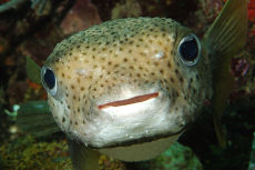 Porcupine Fish  Diodon histrix