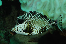 Smooth Trunkfish  Lactophrys bicaudalis