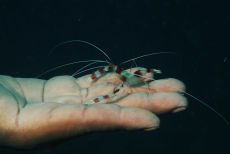 Banded Coral Shrimp  Stenopus hispidus