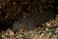 Leopard Spotted Goby  Thorogobius ephippiatus