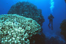 Diver & Cone Coral, Southern Egyptian Red Sea