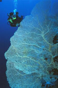 Gorgonian Fan, Southern Egyptian Red Sea