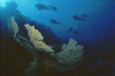Gorgonian Sea Fan  Subergorgia hicksoni