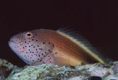 Forster's Hawkfish  Paracirrhites forsteri