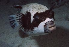 Masked Pufferfish  Arothron diadematus
