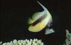 Red Sea Bannerfish  Heniochus intermedius
