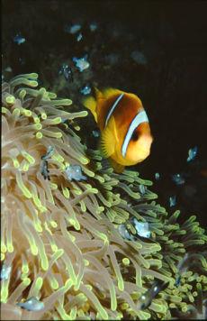 Red Sea Anemone Fish in Magnificent Anemone  Amphiprion bicinctus & Heteractis magnifica