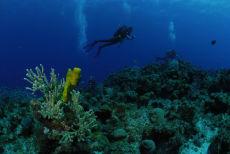 Sea Plume  Pseudoterogorgia spp.