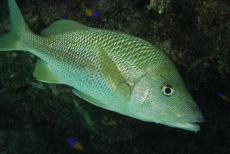French Grunt  Haemulon flovolineatum