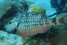 Juvenile Stoplight Parrotfish  Sparisoma viride