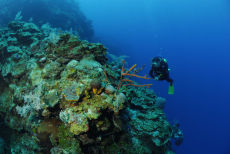 Row Pore Rope Sponge  Aplysina cauliformis