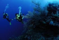 Sea Plume  Pseudopterogordia spp.