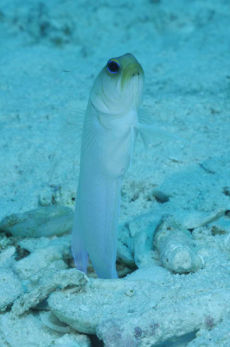 Yellowhead Jawfish  Opistognathus aurifrons