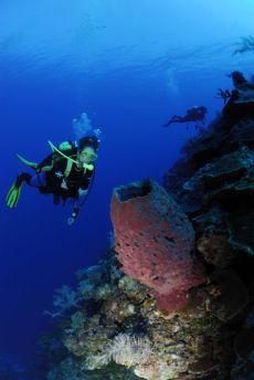 Giant Barrel Sponge  Xestospongia muta