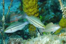 Juvenile Parrotfish  Scaridae