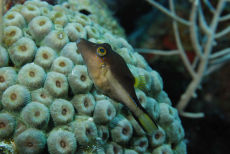 Sharpnose Puffer  Canthigaster rostrata