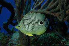 Foureye Butterflyfish  Chaetodon capistratus