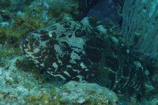 Goliath Grouper  Epinephelus itajara