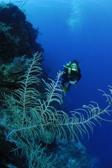 Sea Plume,  Pseudopterogorgia spp.