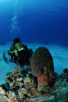 Great Star Coral head  Montastraea cavernosa