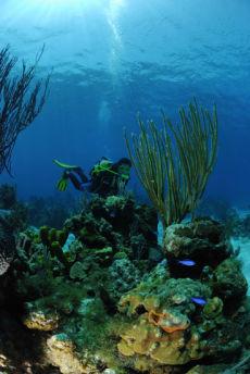Sea Plume  Pseudopterogorgia spp.