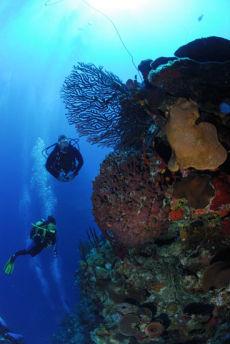 Deep Water Sea Fan  Iciligorgia schrammi