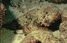 Plumed Scorpionfish  Scorpaena grandicornis