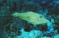 Scrawled Filefish  Alutera scripta