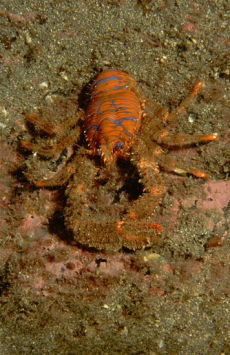 Spiny Squat-lobster  Galathea strigosa