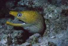 Undulate Moray  Gymnothorax undulatus