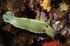 Elegant Sea Slug  Hypselodoris elegans