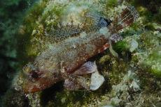 Small Rockfish  Scorpaena notata
