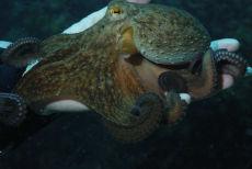 Common Octopus  Octopus vulgaris