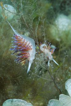 Migrating Aeolid  Cratena peregrina