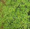 Adiantum microphyllum Plug £2.50